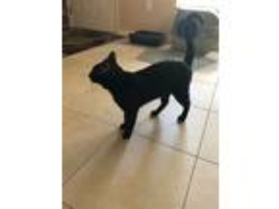 Adopt Babbulu a Black (Mostly) Domestic Shorthair cat in Pinellas Park