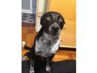 Adopt Burt boy a Black - with White Australian Cattle Dog / Labrador Retriever /