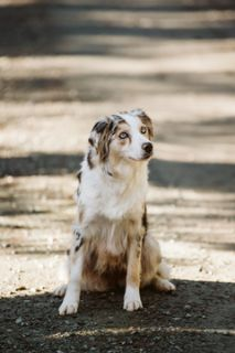Australian Shepherd Puppy - Classifieds - Claz org