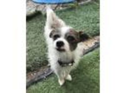 Adopt Jake a White - with Brown or Chocolate Jack Russell Terrier / Mixed dog in