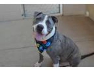 Adopt Cadbury a Gray/Silver/Salt & Pepper - with White American Staffordshire