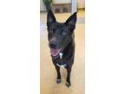 Adopt Traci a Black Shepherd (Unknown Type) / Mixed dog in Cedar Hill