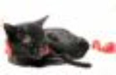 Big Bear Domestic Short Hair - Bombay Cat