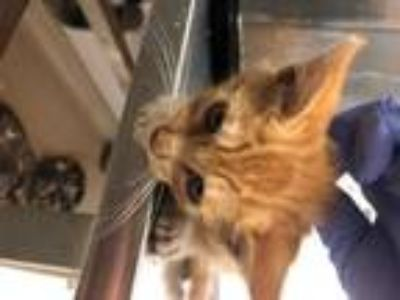 Adopt Michael Cattins a Orange or Red Domestic Shorthair / Mixed cat in Oakland