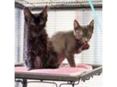 Adopt Edith a Gray or Blue Domestic Shorthair / Domestic Shorthair / Mixed cat
