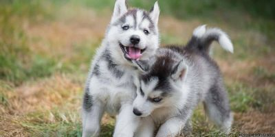 Live things ready to Go Siberian Husky Puppies potty trained, crate trained with all Papers for saleDon't buy from this woman, she is a terrible human being, you will never get your papers, she charges so much money she ends up having the pups for 6 month