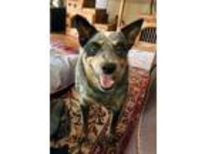 Adopt Jesse a Black - with Gray or Silver Blue Heeler dog in Azle, TX (22308815)
