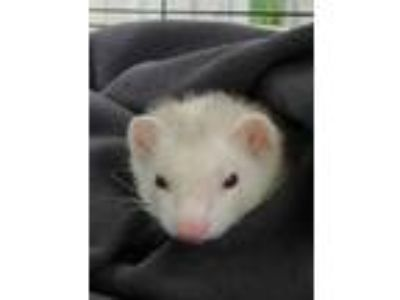 Adopt Bella a White Ferret / Mixed small animal in Worcester, MA (25784850)