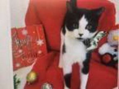 Adopt Billy a Domestic Short Hair