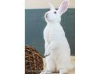 Adopt Shea Coulee a White Florida White / Mixed (short coat) rabbit in