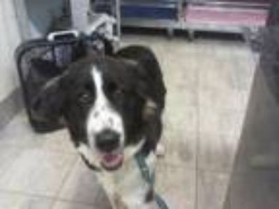 Adopt OREO a Border Collie, Great Pyrenees