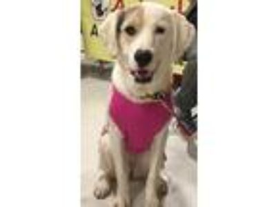Adopt Molly a Anatolian Shepherd / Mixed Breed (Medium) dog in Conway