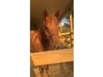 Ginger is a 152 hand seventeen year old registered quarter horse mare