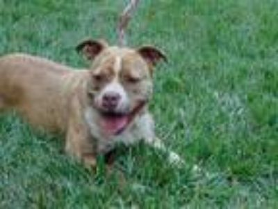 Adopt PRINCESS a Brindle American Pit Bull Terrier / Mixed dog in Charlotte