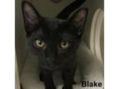 Adopt Blake a Domestic Short Hair