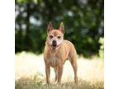 Adopt Hugo a Red/Golden/Orange/Chestnut Mixed Breed (Medium) / Mixed dog in
