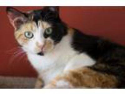 Adopt PANDORA a Calico or Dilute Calico Calico (short coat) cat in Houston