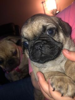 Pug PUPPY FOR SALE ADN-105439 - Pug puppies