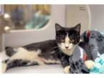 Adopt MacY a Domestic Shorthair / Mixed cat in Lake Jackson, TX (23370084)