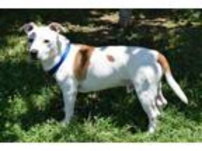 Adopt Chico a Jack Russell Terrier, Corgi