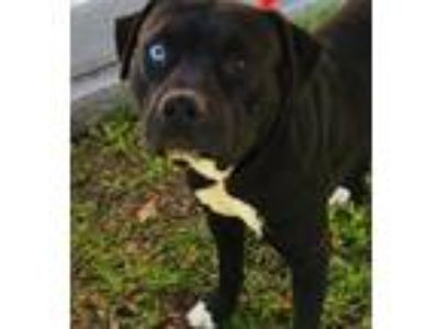 Adopt BENNY a Catahoula Leopard Dog, Pit Bull Terrier