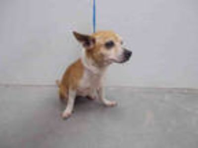 Adopt a Brown/Chocolate - with White Corgi / Mixed dog in Rosenberg