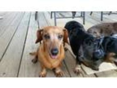 Adopt Honey a Tan/Yellow/Fawn Dachshund / Mixed dog in Georgetown, KY (25882333)