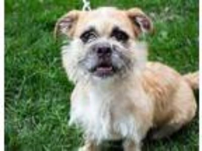 Adopt Darcy a Tan/Yellow/Fawn Brussels Griffon / Mixed dog in Oak Pak