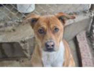 Adopt Elijah a Labrador Retriever, Mountain Cur