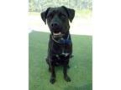 Adopt Logan a Black Labrador Retriever