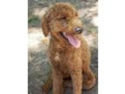 Adopt Nyla a Red/Golden/Orange/Chestnut Golden Retriever / Poodle (Standard) /