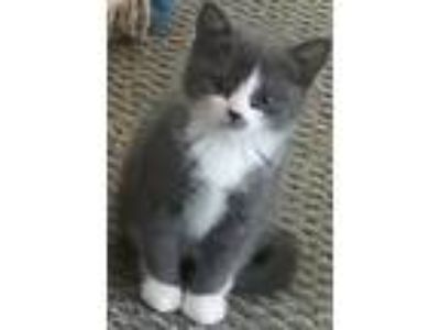 Adopt WhitePatch a Gray or Blue Domestic Mediumhair cat in Roseville