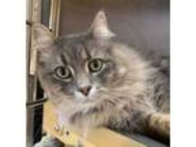 Adopt Stormy a Gray or Blue Domestic Longhair / Domestic Shorthair / Mixed cat