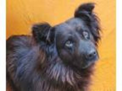 Adopt RAMBO a Black Chow Chow / Mixed dog in Fairfield, CA (25279956)