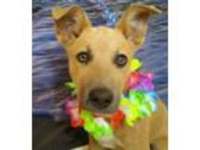 Adopt Lucy a Shepherd, Mixed Breed