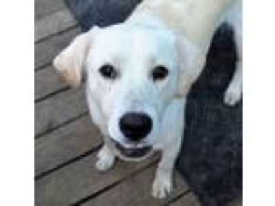 Adopt Butters a Tan/Yellow/Fawn Labrador Retriever / Mixed dog in Kansas City