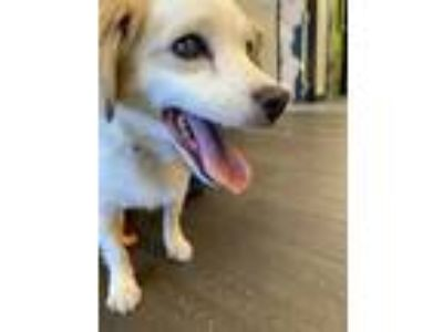 Adopt Strudel a White - with Tan, Yellow or Fawn Jack Russell Terrier /