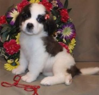 Adorable Saint Bernard Puppies for Sale