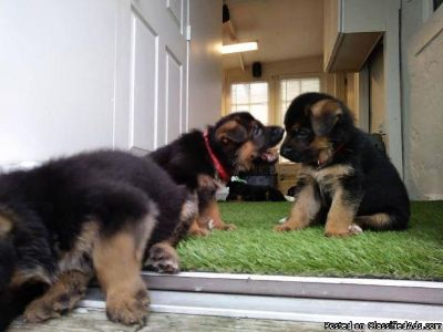 intelligent German Shepherd puppies.