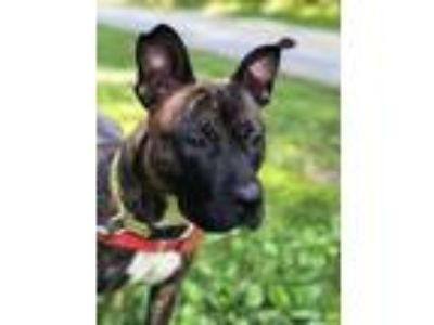 Adopt Olive a Pit Bull Terrier, German Shepherd Dog