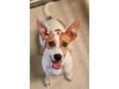 Adopt Frogger a Cattle Dog, Mixed Breed