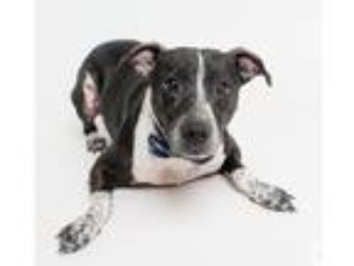 Adopt Chase a Cattle Dog / Border Collie / Mixed dog in New Orleans