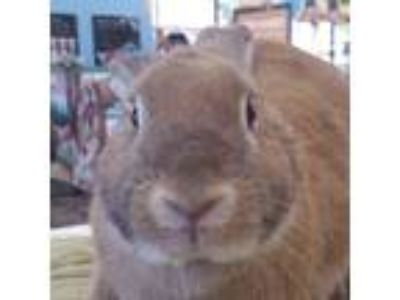 Adopt Raisin a Copper American / Mixed (short coat) rabbit in Los Angeles