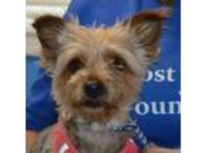 Adopt Victoria a Yorkshire Terrier, Mixed Breed