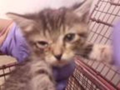 Adopt *SHELBY a Brown Tabby Domestic Shorthair / Mixed (short coat) cat in