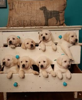 Labrador Retriever PUPPY FOR SALE ADN-103839 - Ridge Retrievers