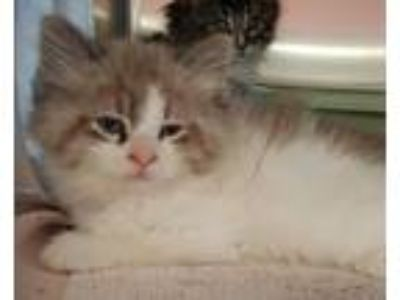 Adopt Red Leaf a Domestic Long Hair