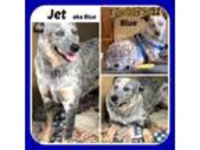 Adopt JET AKA BLUE a Australian Cattle Dog / Blue Heeler