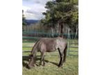 Blue Roan Mustang Filly