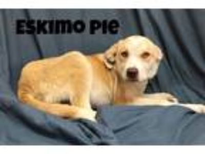 Adopt Eskimo Pie a Great Pyrenees / Mixed dog in Williamstown, KY (25562815)